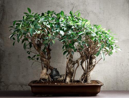 Boschetto di Ficus Retusa