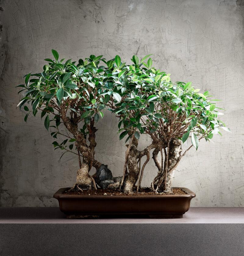 Bonsai Boschetto di Ficus Retusa